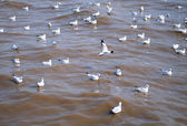 Seagull is a bird migration to Bangpoo — Photo
