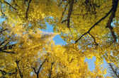 The ginkgo trees in garden — Stock Photo