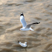 Flying seagulls in action — Стоковое фото