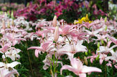 Blooming pink lily in garden — Stock Photo