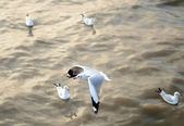 Flying seagulls in action at Bangpoo — Stock Photo