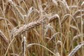 Wheat field close-up — Stock Photo
