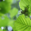 Three green hazelnuts with leafs - Stock Photo