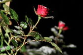 Single Rose in the snow at night — Stock Photo