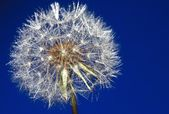 Dandelion blue — Stock Photo