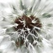 Dandelion drops — Stock Photo #41811623