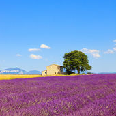 Lavender flowers blooming field, house and tree. Provence, Franc — Stock Photo