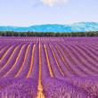 Stock Photo: Lavender flower blooming fields and trees row. Valensole, Proven