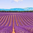 Lavender flower blooming fields and trees row. Valensole, Proven — Foto de Stock   #12506322