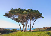 Maritime Pine tree group near sea and beach. Baratti, Tuscany. — Stock Photo