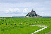 Sheeps grazing near Mont Saint Michel landmark. Normandy, France — Stock Photo
