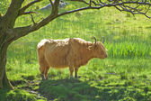 Highland Cattle or Cow breed under a tree. Scotland — Stock Photo