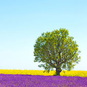 Lavender and yellow flowers blooming field, lonely tree. Provenc — Stock Photo