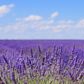 Lavender flower blooming fields horizon. Valensole Provence, Fra — Stock Photo