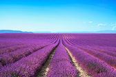Lavender flower blooming fields endless rows. Valensole provence — Stok fotoğraf