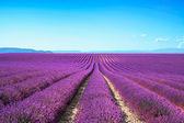 Lawenda kwiat kwitnący niekończące się rzędy pola. prowansja valensole — Zdjęcie stockowe