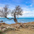 Tamarisk or tamarix tree, rock beach and ocean on background. - Stock Photo