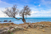 Tamarisk or tamarix tree, rock beach and ocean on background. — Stock Photo
