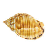 Sea Mollusk Shell isolated on white background — Stock Photo