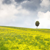 Yellow flowers green field, lonely cypress tree and cloudy sky — Stock Photo