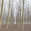 Poplar tree forest in winter. Emilia, Italy — Stock Photo