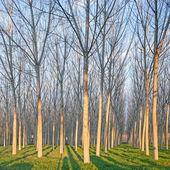 Topola lesie w zimie. emilia, włochy — Zdjęcie stockowe