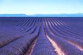 Flor de lavanda florescendo filas intermináveis de campos. valensole provence — Foto Stock
