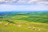 Sheeps grazing in green fields in Orcia Valley, Siena, Tuscany, Italy — Stock Photo