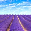 Stock Photo: Lavender flower blooming fields endless rows. Valensole provence
