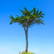 Stock Photo: Brittany, Pine tree on blue sky background. France