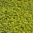 Hedge green leaves similar grass texture background wall — Stock Photo