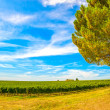 Chianti region, vineyard, pine tree and farm. Tuscany, Italy — Stock Photo #33082141