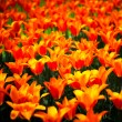Tulip flowers garden in spring, background or pattern — Stock Photo