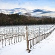Vineyards rows covered by snow in winter. Chianti, Florence, Ita — Stock Photo