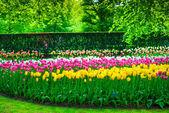 キューケンホフ公園、チューリップの花および木の庭。オランダ — ストック写真