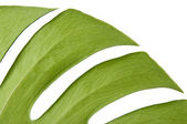 Green leaf of Monstera plant — Stock Photo