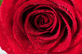 Red natural rose background — Stock Photo