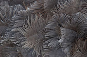 Background of ostrich feathers — Stock Photo