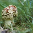 Fly agaric (Amanita muscaria) - Stock Photo