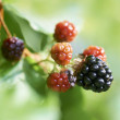 Stock Photo: Blackberry or bramble fruit