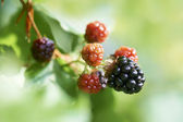Blackberry or bramble fruit — Stock Photo