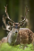 Head shot of a fallow deer stag (dama dama) — Stock Photo