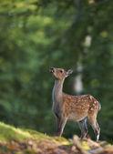 Bambi obraz młodego jelenia — Zdjęcie stockowe
