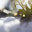 Snowdrop (Galanthus nivalis) in the snow - Stock Photo
