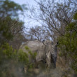 Stock Photo: Africwhite rhino in bush