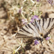 Butterfly on a flower in sicilian countryside — Stock Photo