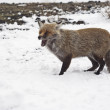 Red fox in the snow — Stock Photo