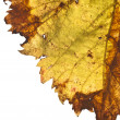 Stock Photo: Grapevine leaf isolated