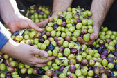 Olives picking in Sicily — Stock Photo