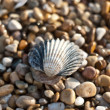Shell and sea pebbles — Stock Photo